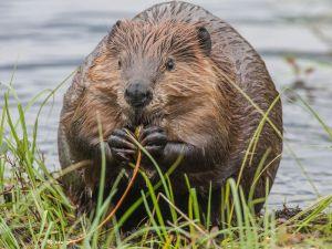beaver 7