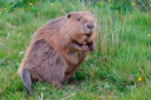 Eurasian beaver (Castor fiber) stands, captive, Devon.