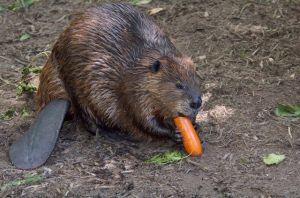beaver 9
