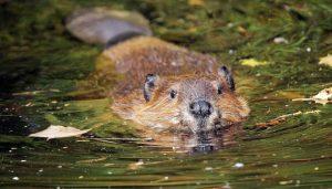 beaver 11