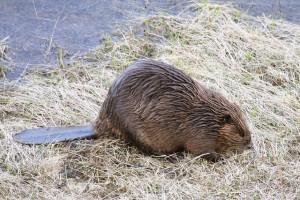 beaver 15