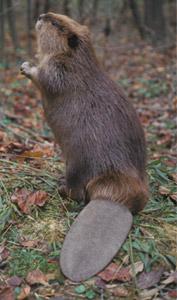 beaver 16