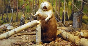 beaver 19