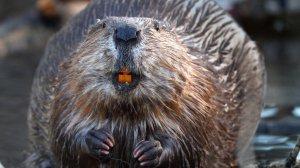 beaver 23